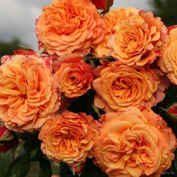 Купить в гомеле саженцы роз