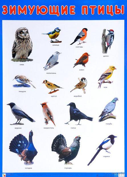Зимующие птицы. Плакат — фото, картинка