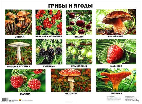 Грибы и ягоды. Плакат — фото, картинка