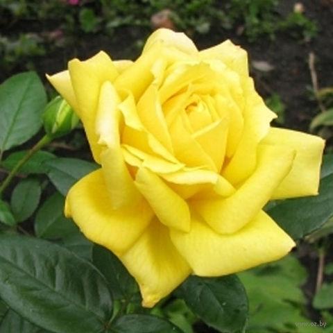 Купить саженцы садовой розы ландора доставка цветов по люберцам