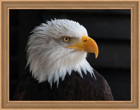 "Алмазная вышивка-мозаика ""Белоголовый орлан"" (400х300 мм) — фото, картинка"
