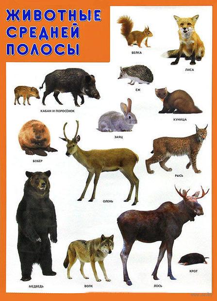 """Плакат """"Животные средней полосы"""""""