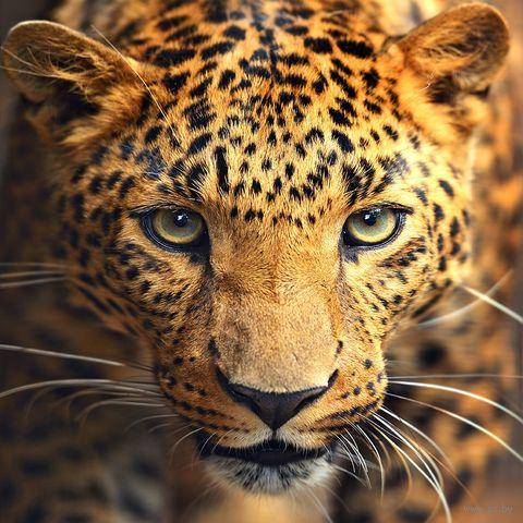 "Алмазная вышивка-мозаика ""Портрет леопарда"" (300х300 мм) — фото, картинка"